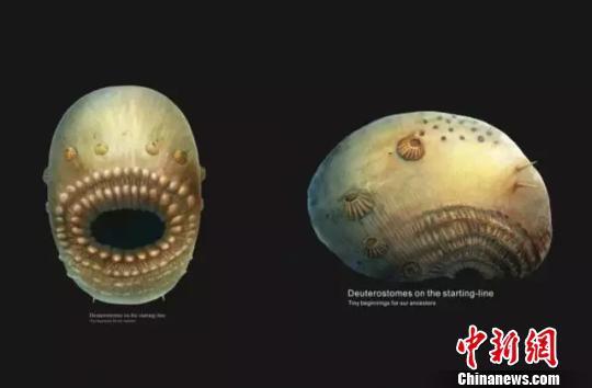 冠状皱囊动物腹面和侧面。西北大学供图。