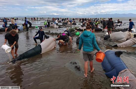 海滩上的民众给鲸鱼泼水保湿。