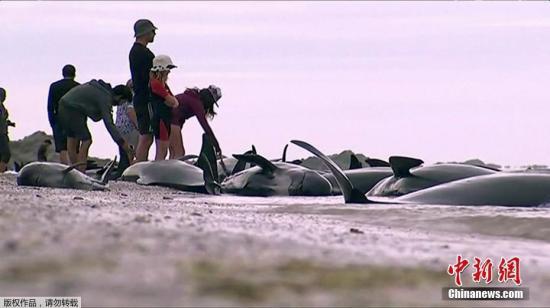 这是新西兰最大的一次鲸鱼搁浅事件,搁浅数量达到数百头。