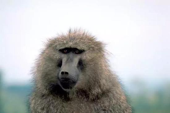 狒狒(图片来源:维基百科)