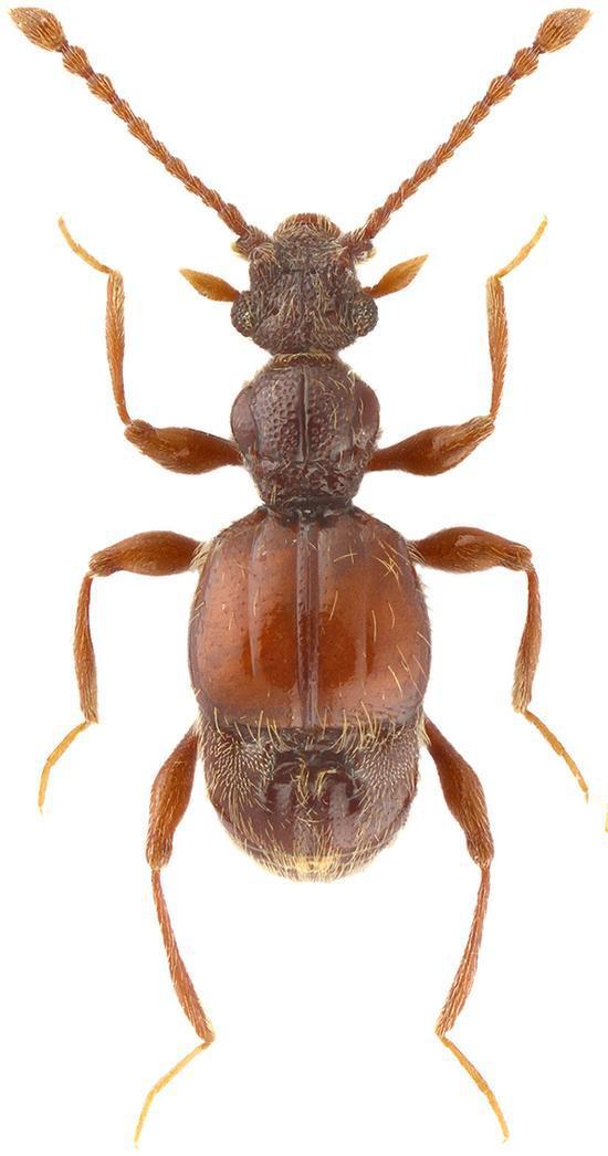 西郊公园毛角蚁甲