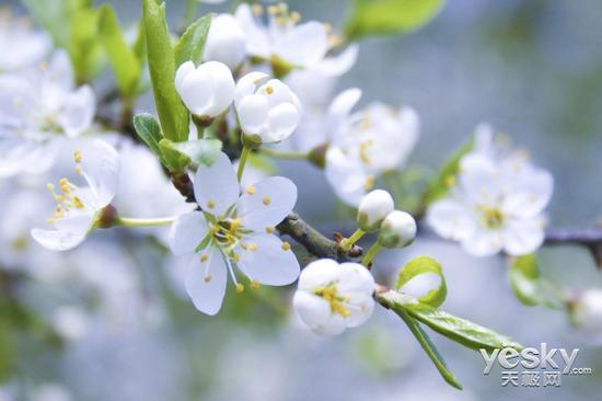 纯白的樱花,适合用长焦镜头拍摄特写,由于长焦端景深较浅,需要找准合焦位置(图片来自网络)