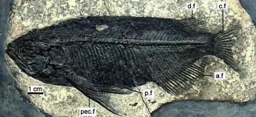 图1中华金龙鱼化石正型标本(张江永供图)