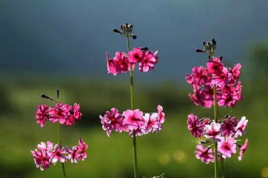 粉被灯台报春来自灯台报春组,因具有多轮伞形花序,形似灯台而得名。摄影:榕嘉
