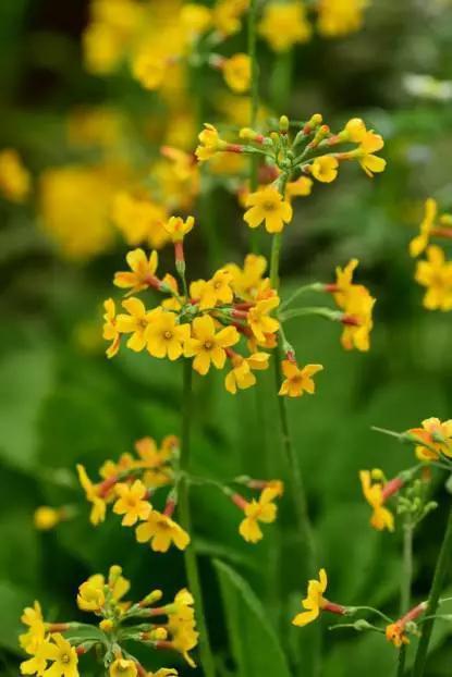 切尔西花展上的中甸灯台报春Primula chungensis由著名植物猎人金登沃德1913年自云南中甸引进英国,江珊摄于英国