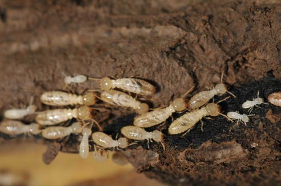 家中发现白蚁不要喷杀虫剂:易导致换巢破坏更多