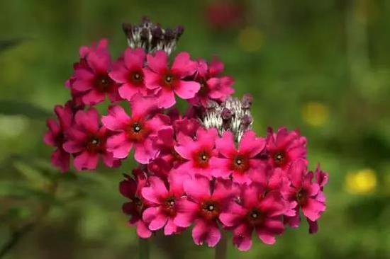 每一轮伞形花序都有4-12朵花,花心喉部深红,摄影:榕嘉