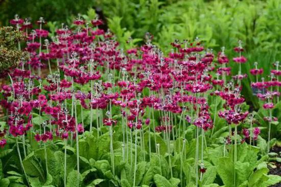 爱丁堡植物园的粉被灯台报春,江珊摄于英国