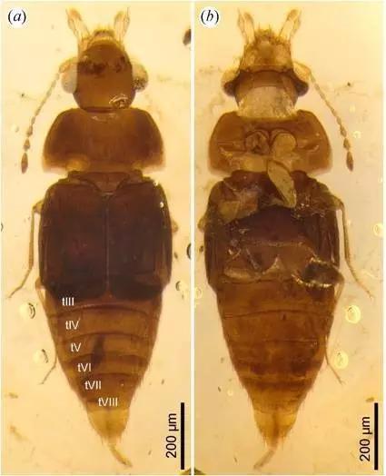 """""""黄花菜""""团队在热河生物群淘到的巨须隐翅虫化石"""