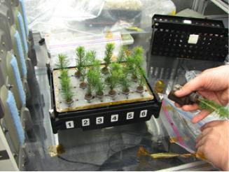 图6 白云杉幼苗的发射前准备