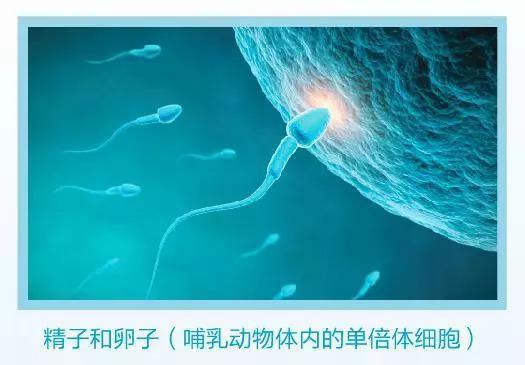 图1 哺乳动物的精子和卵子(资料图)