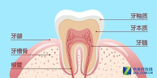 牙齿基本构造
