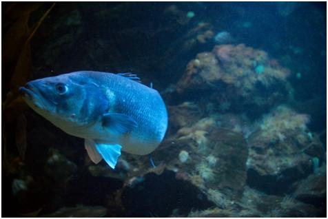 这种鲤科的鱼在英国很常见
