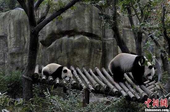 """圖為母子大熊貓""""奇珍""""和""""真真""""正在嬉戲。安源 攝"""