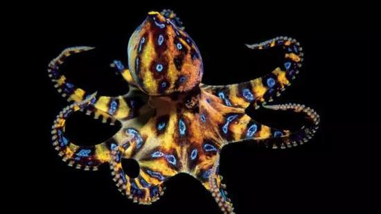 俏丽的蓝环章鱼。起源:Oceanwide Images
