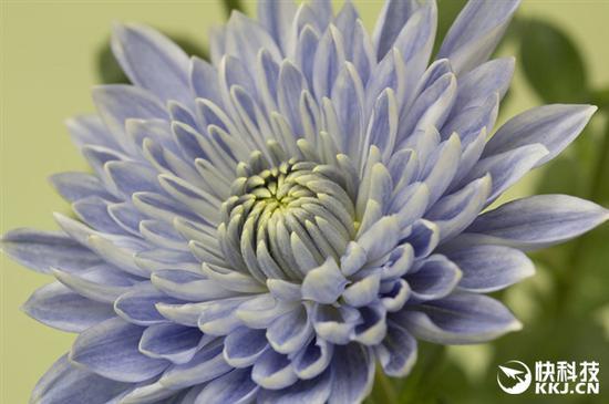 全球首株蓝色菊花在日本诞生 被惊艳到了