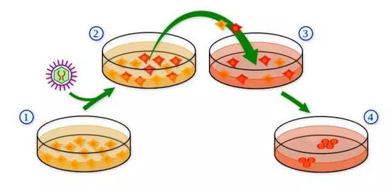 "IPSCs细胞制作法step1:从身体取得细胞并加以培养;step2:利用病毒载体,或是其他方式把特殊基因或是其产物(蛋白质)""导入""细胞。红色的是已被""导入""的细胞;step 3:当细胞群落形成,并利用ES细胞之培养法进行培养;step 4:培养后便会形成类似ES细胞之IPSCs细胞群。图源:维基"
