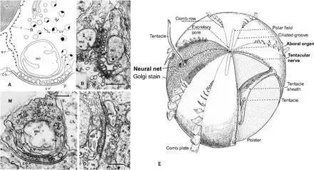 (A-D)栉水母的神经元突触示意图,(E)栉水母皮下神经概略图。图源:biologists