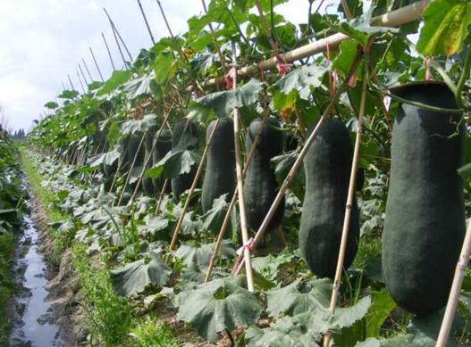 我国是冬瓜的原产国,早在魏晋南北朝时就有种植和食用记录,每年产销量很大(图片来自网络)
