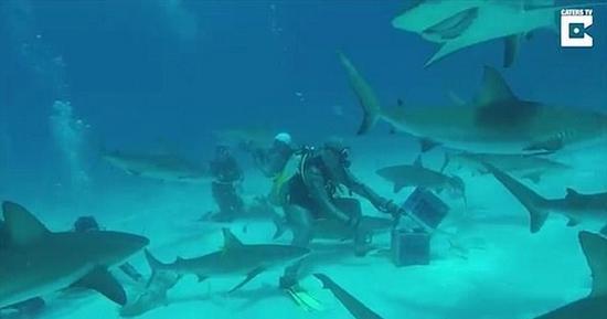 惊险一幕:潜水者海底喂鱼被成群鲨鱼包围