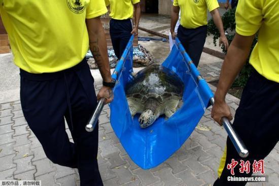 资料图:当地时间2017年7月26日,泰国春武里府梭桃邑,泰国皇家海军海龟保护中心举办一年一度的海龟放生活动。