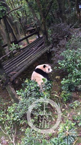 熊猫谷的大熊猫。