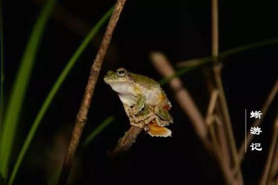 雄性鋸腿原指樹蛙豎在樹枝上求偶