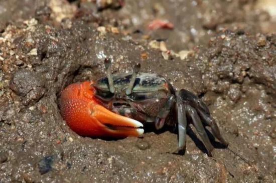 一隻來自印度尼西亞林卡島的雄性窄招潮蟹(Uca coarctata),一對鰲肢大小差異十分明顯(引自維基百科)