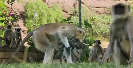 """猴子们围在间谍小猴的""""尸体""""旁,议论纷纷,气氛悲伤而凝重。"""