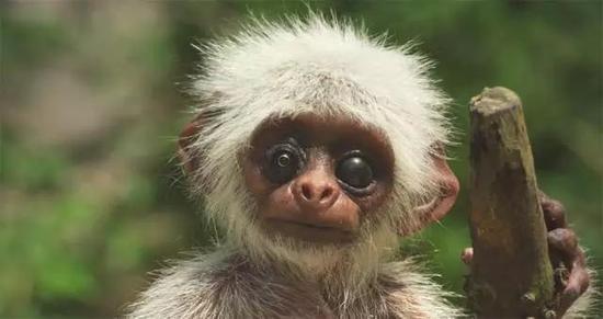 """间谍小猴子的出现,引起了猴群的骚动。猴子们纷纷赶来,围观这位""""不速之客""""。"""