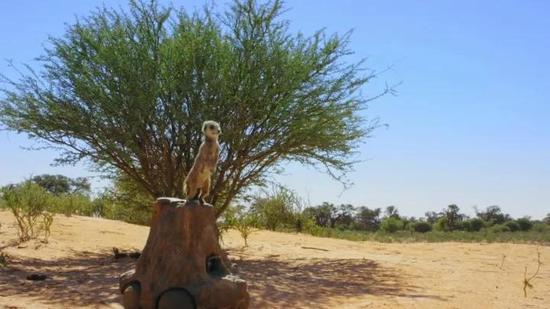 比如,BBC团队在非洲被花豹袭击,靠摄影师丢出帽子分散花豹的注意力,才侥幸脱身…