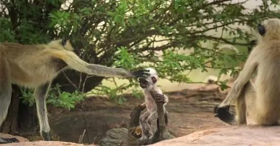 经过一个多月的朝夕相处,猴子们终于打消疑虑,间谍小猴彻底融入猴群。