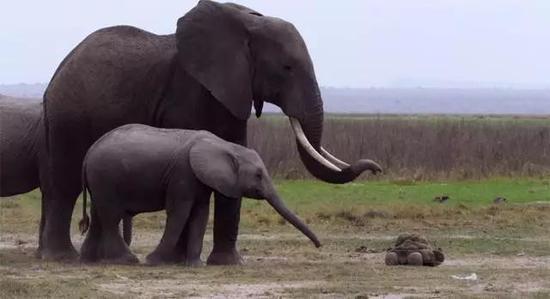 另外,粪便摄像机还有一个独门绝技:屎也能拉屎。其实那是它释放出的一颗粪球摄像机,用更贴近的方式靠近大象…