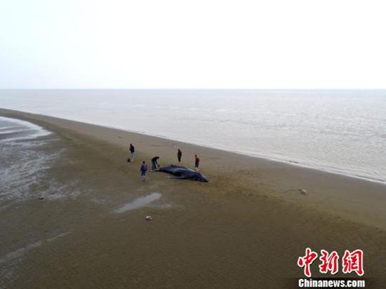 图为昨天返回大海的座头鲸又游回来了,再次搁浅启东海滩。