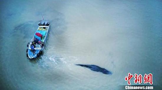 图为11月13日,搁浅启东海滩的座头鲸脱困游回大海。本文图片均为 中新网 图