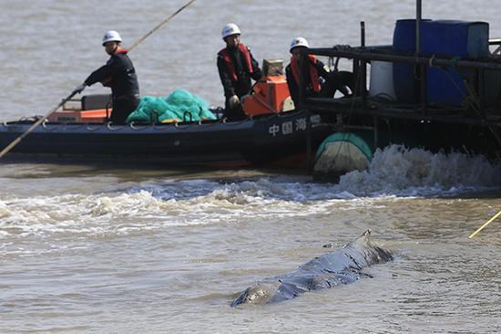 搁浅的座头鲸。澎湃新闻记者 赵昀 杨一 图
