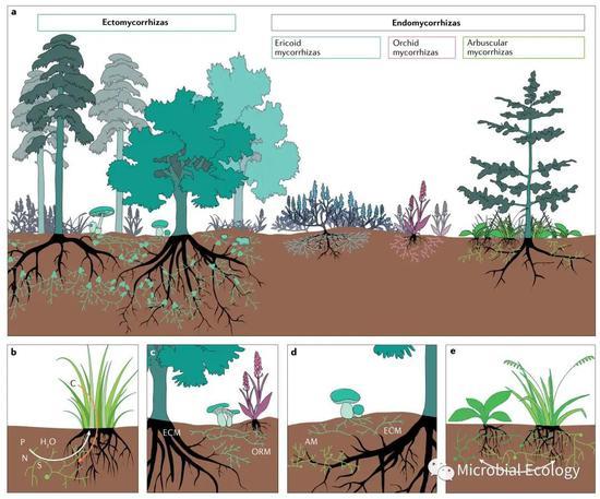 图4 不同植物个体之间通过与真菌形成各种类型的菌根构建起相互联系的地下网络(图片引自文献2)