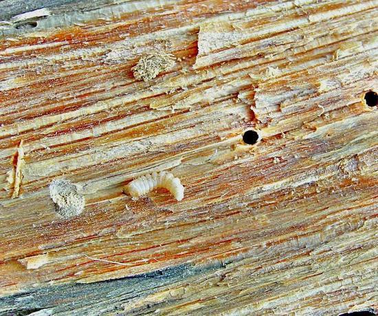 在进境木质包装中同时发现松材线虫(需要分离后镜检)与松墨天牛幼虫 。图片来源:宁波检验检疫技术中心