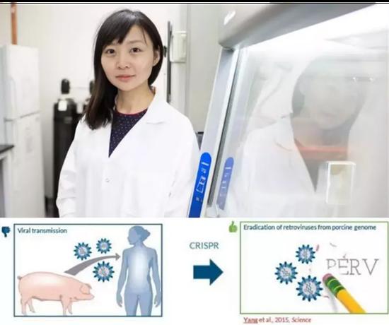 因创造出PERVs基因失活的幼猪而广受关注的哈佛女科学家杨璐菡