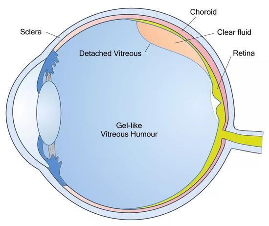 眼球中的玻璃体(图中vitreous humour所指区域)