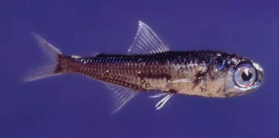 王企鹅的食物来源之一,灯笼鱼。图片来源:wikipedia