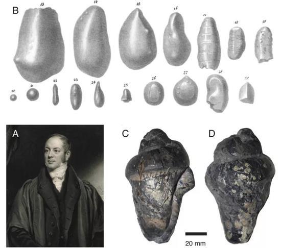 (A)威廉·巴克兰;(B)他于1835年的绘画,可见螺旋状粪化石;(C)他收集的粪化石。