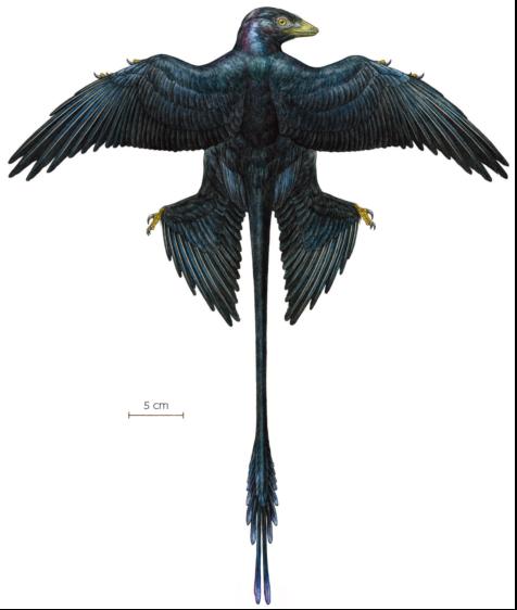 小盜龍能用四個翅膀搭配尾巴來低速滑翔。