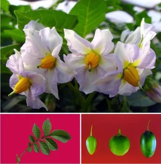 图4 马铃薯的花、叶及果实