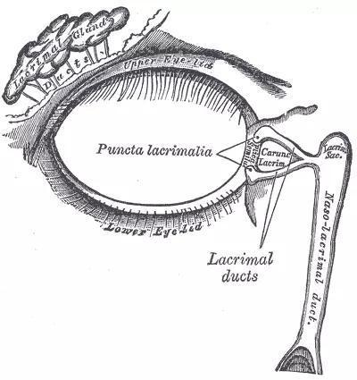 右眼泪液器具,泪腺位于左上角。图片的右侧朝向鼻子