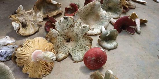 图1 紫阳县双安镇的农户晾晒采集到的野生蘑菇 (作者摄于2020年9月)