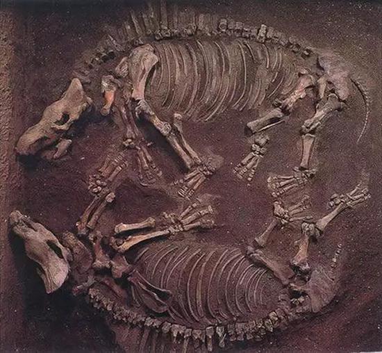 同一化石坑埋藏的两具披毛犀全身骨骼化石 (图片来源:内蒙古博物院)