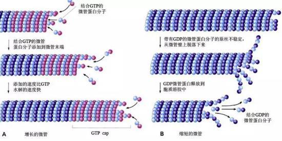 增长的微管和缩短的微管示意图