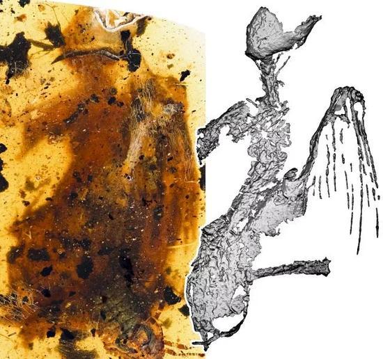 煎饼鸟标本与微CT图像对比(供图:邢立达)