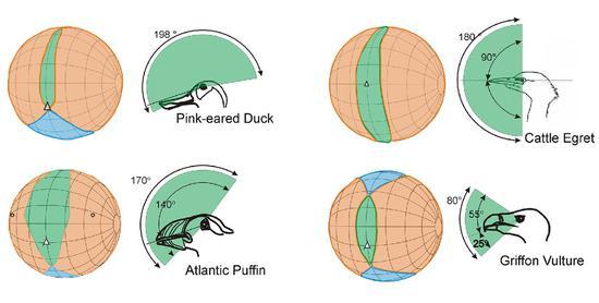 不同的鸟类,立体视觉、单眼视觉和视觉盲区的范围并不相同(图片来源于网络)